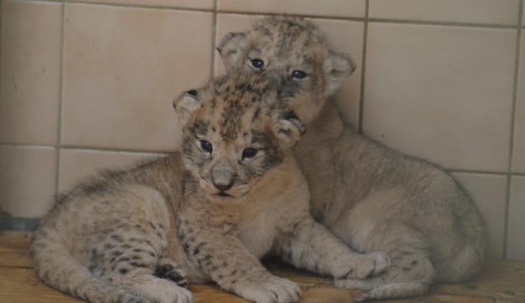 V ZOO se po několika měsících opět narodila dvě mláďata lvů berberských