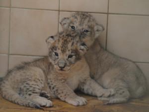 Lví máďata