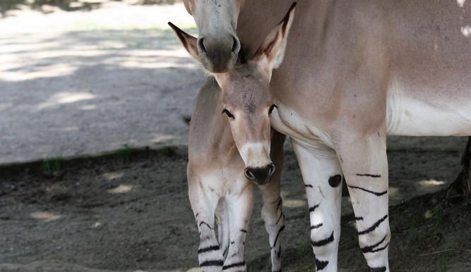 V Zoo se narodila další mláďata. Na svět přišli ohrožený gibon a osel