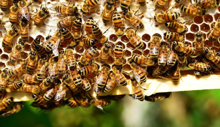 Kvůli hnilobě včelího plodu už museli veterináři spálit 91 včelstev