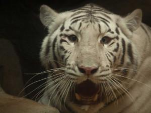 Jeden z bílých tygrů