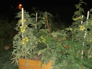 Zloděj na zahradě kradl zeleninu. Rajčata za 26 korun ho mohou stát tři roky vězení