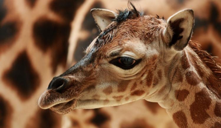 Liberecká zoo se dostala na poštovní známku, je na ní osel a takin