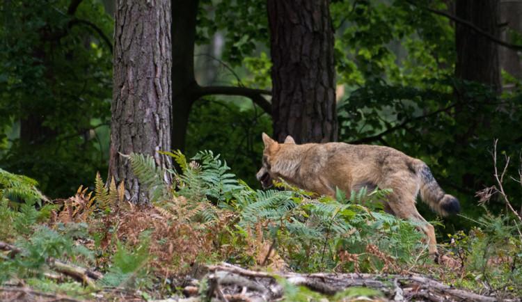 Šel fotit jeleny a narazil na vlky. Jedinečné setkání zažil fotograf v Lužických horách