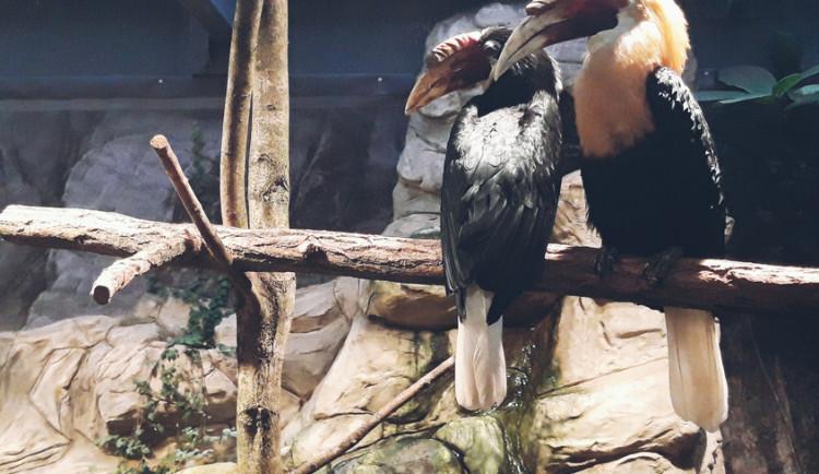 Liberecká zoo poprvé v historii chová vzácné rajky a zoborožce