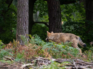Takto zachytil Aleš Chmelíček vlka, který se procházel krajinou Lužických hor.