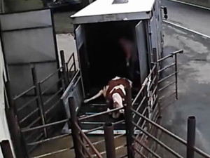 Zacházení se zvířaty zachytila skrytá kamera.