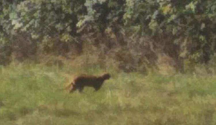 Kočkovitá šelma zůstává na Jablonecku, město nedoporučuje chodit do lesů