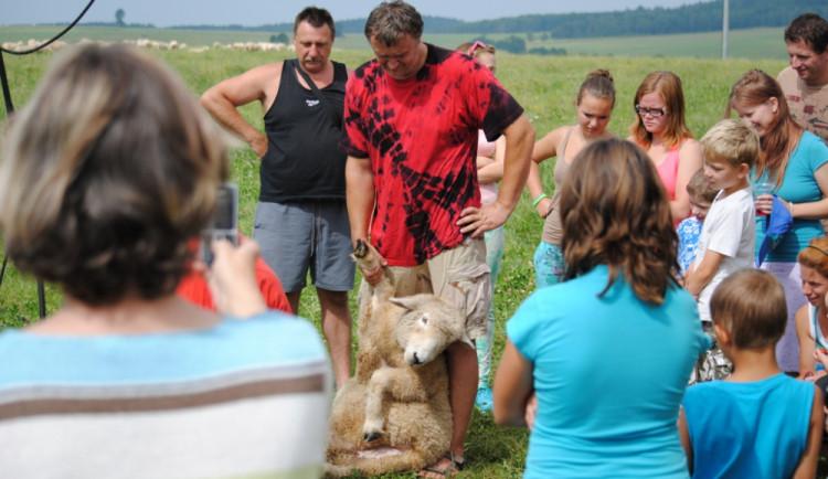 Když ovci položíte na záda, přestane sebou šít. Tahle čeká na ostříhání